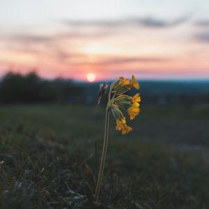 Sunset, cowslip, primula veris, primrose, primulaceae, swabian alb, baden-wuerttemberg, germany, europe