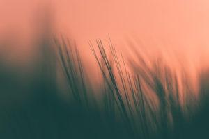 Getreideähren im Abendlicht