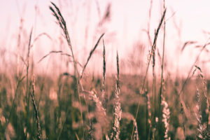 Grasses in the evening light, meadow