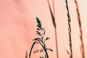 Gräser im Abendlicht, Wiese
