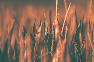 Cornfield in the evening light