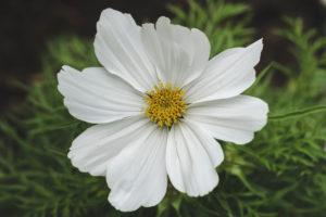 Weiße Blume, Cosmea, auch Schmuckkörbchen genannt, Blüte, Low Key, Natur, Garten
