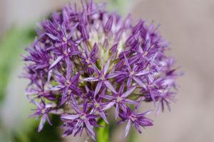 Riesen-Lauch, Zierlauch, Kugellauch, Allium giganteum, Garten, Natur
