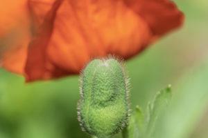 Mohn, Kapsel, Papaver, Pflanze, Garten, Natur