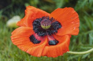 Mohn, Blüte mit Regentropfen, Papaver, Pflanze, Garten, Natur
