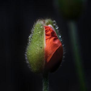 Mohn, Kapsel teilweise offen mit Regentropfen, Papaver, Pflanze, Garten, Natur, Low Key