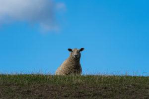 Schaf auf Deich, Damm, Nordsee, Schleswig-Holstein, Deutschland, Europa