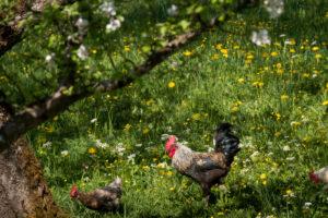 Almidylle, freilaufende Hühner in Bayern, Deutschland