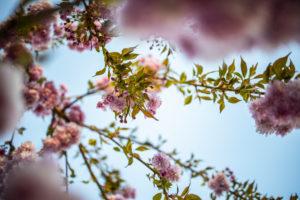Kirschblüten,