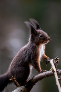 Squirrel, Sciurus vulgaris