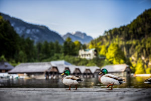 Jetty, Königssee, Bavaria, Berchtesgaden, mountains, Schönau, ducks, boathouses