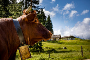 Berchtesgadener Land, Mordaualm, alpine summer in Bavaria, Germany, Bavaria, Ramsau bei Berchtesgaden, cow in the foreground,
