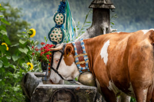 Almabtrieb ([ceremonial driving down of cattle from the mountain pastures into the valley ) in Upper Bavaria with drinking cow at the water trough, Ramsau, Berchtesgaden, Bavaria,