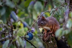 Eichhörnchen auf einem Zwetschgenbaum
