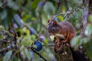 Squirrel on a plum tree