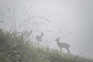 Rehe im Nebel, ruhige Natu, Bayern, Berchtesgaden, Deutschland