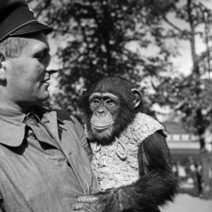 A zookeeper with chimpanzees, Germany 1930s,
