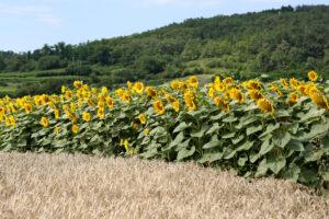 Sonnenblumenfeld im Waldviertel NÖ - Sonnenblumenfeld im Waldviertel NÖ