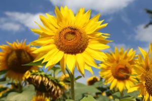 Sonnenblumen - Sonnenblumen