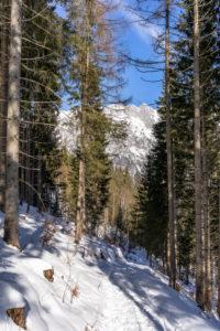 Europa, Österreich, Berchtesgadener Alpen, Salzburg, Werfen, Ostpreussenhütte, Verschneiter Forstweg im lichten Bergwald im Aufstieg zur Ostpreussenhütte