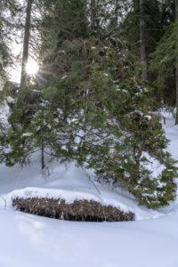 Europa, Österreich, Berchtesgadener Alpen, Salzburg, Werfen, Ostpreussenhütte, Entwurzelter Baum im winterlichen Bergwald