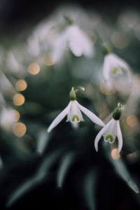 snowdrops,