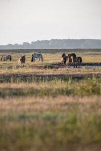 herd of horses in the sunrise, Hiddensee island