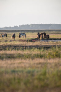 herd of horses in the sunrise, Hiddensee island