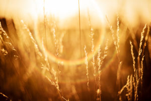 Grasses against the light