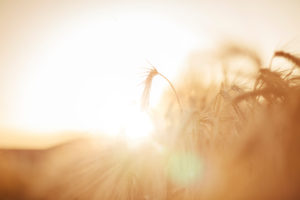 Barley backlit