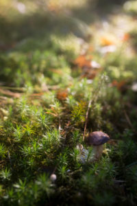 Marone im Wald