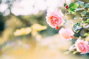 rosa Rosen im Garten