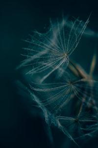 Samenstand / Flugsamen an einer verblühten Pflanze