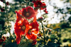 Malvenblüten im Gegenlicht