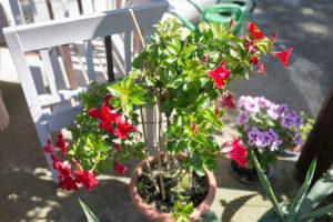 rote Blume in Blumentopf auf Terrasse