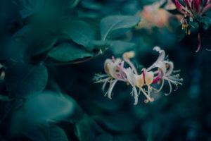 Geißblattblüte