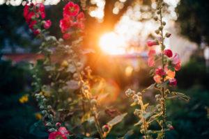 Malvenblüten im Sonnenuntergang