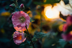 Mallow flowers in the sunset