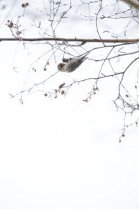 Grünfinken im Winter auf einer Birke