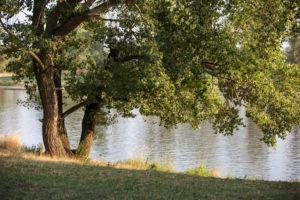 Laubbaum am Flussufer in Abendstimmung