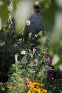 Cosmea im Garten