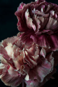 Carnation flowers against a dark background