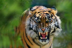 Sumatra tiger, Panthera tigris sumatrae, threatening gesture