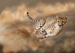 Cheetah on hunt, Acinonyx jubatus