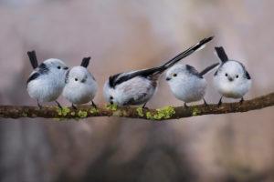 bushtits, Aegithalos caudatus, group sits on branch