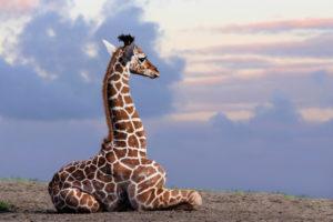 Somali giraffe, camelopardalis reticulata, young animal