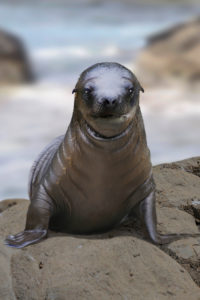 Sea lion, baby, Zalophus californianus, sits on stone