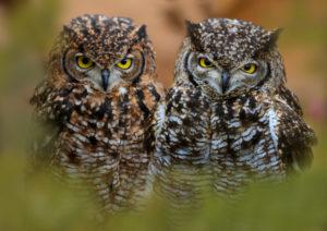 tiger owl, bubo virginianus, young animals, the USA