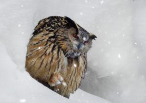 eagle owl, bubo bubo, in winter, snowfall