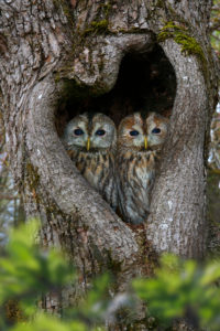 brown owls is looking out of the tree hole, Strix aluco